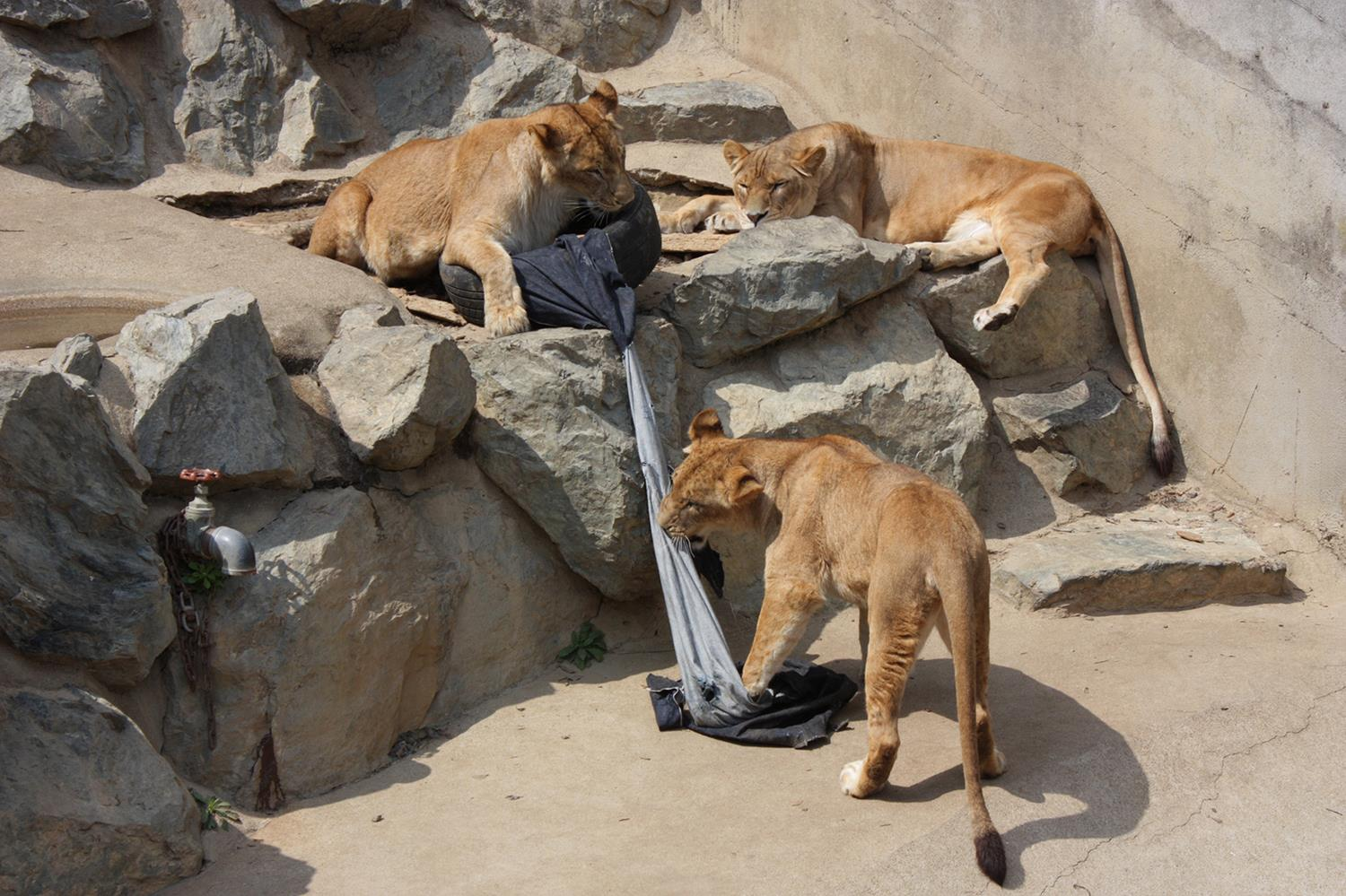 Zoo Jeans Feature Distressed Rips & Tears Made By Lions, Tigers & Bears (Oh My!)
