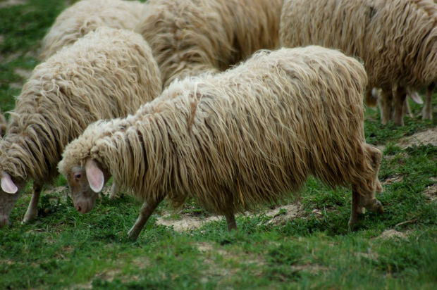Can Shepard Robots Keep The Flock In Line?