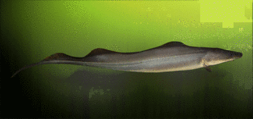 Black river knifefish