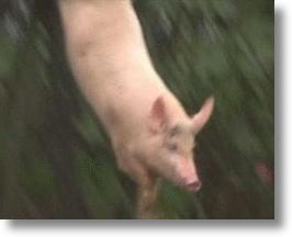 Diving Helps Keep Pigs Healthy, Makes Bacon Tastier