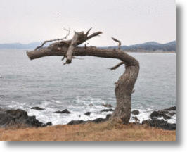 &#039;Dragon Tree&#039; May Bring Good Luck to Japan&#039;s Tsunami Ravaged Coast