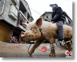 Chinese Man Too Sick To Walk Now Rides Huge Hog Through Town