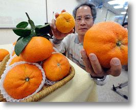 King Orange: World's Largest Oranges Successfully Bred in Taiwan