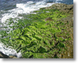 Algae is being converted into the nutrient omega-3