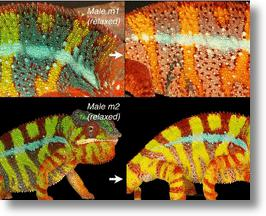 We now understand how the panther chameleon changes its coloring