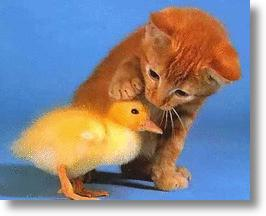 Kitten and baby duckling