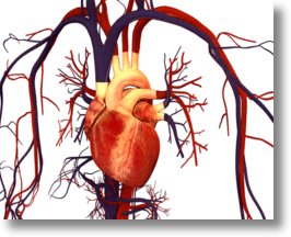 The human heart and circulatory system