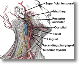 External carotid artery