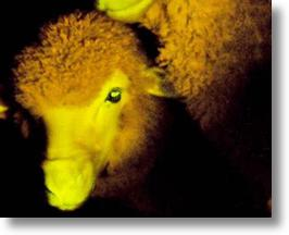 Iridescent sheep