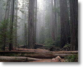 Redwood Trees in Humboldt Redwoods State Park, California