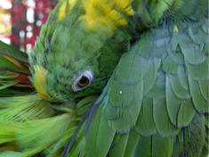 Amazon Parrot Under the Canopy