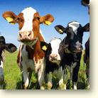 Female Researchers Discover Breast Cancer Risk Linked to Cattle Virus