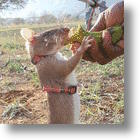 Don&#039;t Kill Gambian Pouch Rats! Recruit Them