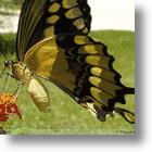 Biomimetic Butterfly Model Gives Flying Lessons