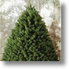 Christmas Tree Needles Have Natural Antibacterial Properties