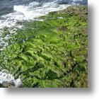Algae: New Source Of Omega-3 Saves Oceans From Overfishing