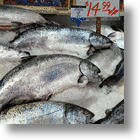 Genetically Modified Salmon, Will You Eat It?