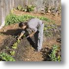 Organic, Urban Vegetable Gardening For Dummies