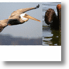 New Orleans' Brown Pelicans - Ultimate Survivors, From 'Silent Spring' to Gulf Oil Disaster