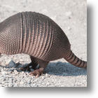 Leprosy Findings May Put An End To Armadillo Festivals