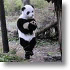 China Panda Researchers Find Panda Suits Suit Pandas