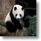 Pandas Release Secrets Of Biomass Processing - In Their Poop