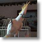 Snowball, The Dancing Cockatoo, Disproves An Evolutionary Theory