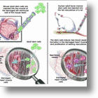 Stem Cell Powder Re-grows Limbs