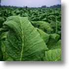 Tobacco Plant Could Be Used To Fight Cancer