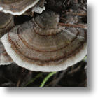 Turkey Tail Mushroom HALTS Prostate Cancer: China & Japan Used It For Centuries