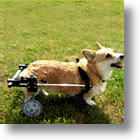 For Dogs With Hind Leg Injuries, A Wheelchair May Help
