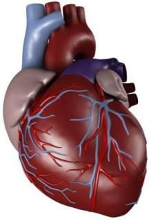 The Human Heart: credit iStockphoto via Science Daily