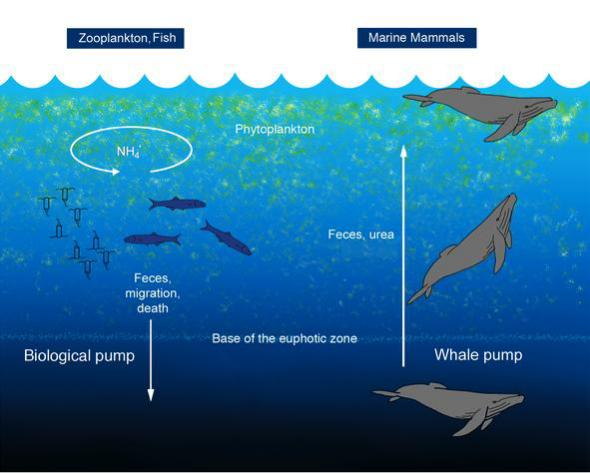 The Whale Pump model by Peter Roopnarine, Joe Roman, & James McCarthy: image via Science Daily