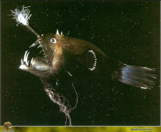 Deep sea anglerfish with photophore: image via hilaryfarlow.wordpress.com