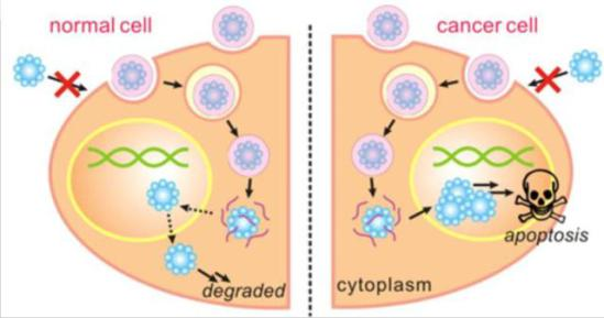 Degradable nanocapsules dissolve harmlessly in cells: UCLA Engineering via sciencedaily.com