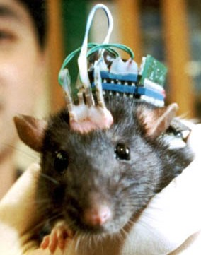 Robo Rat wired with electrodes stemming from his new robotic brain: image via wired.com