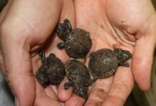 Four of five Madagasgar big-headed turtles born at Houston Zoo: image via chron.com