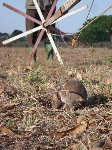 Gambian pouch locates land mine for trainer: image via wikipedia.org