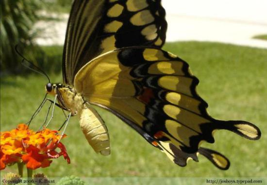 Giant Swallowtail Butterfly: ©K.Hunt via josboys.typepad.com