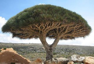 Dragon's Blood Tree native to the island of Socotra, Yemen: image via wikipedia.org