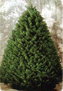 Douglas Fir looks pretty and kills pathogenic microbes