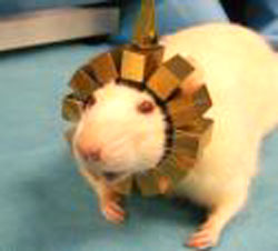 RatCAP PET collar studies mollecular structures in the brain during activity: image via U.S. Department of Energy