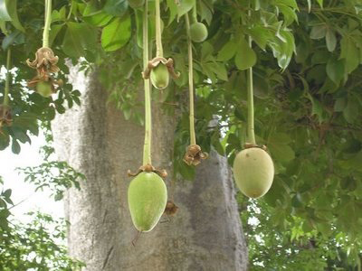 Baobab fruit: Source: Baobabfruit.net