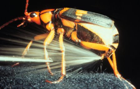 Bombardier beetle releases its chemical defense system: image via apologeticspress.org