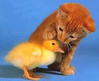 Kitten and baby duck are considered 'kuwaii' in Japan: image via http://pbump.net/animals/