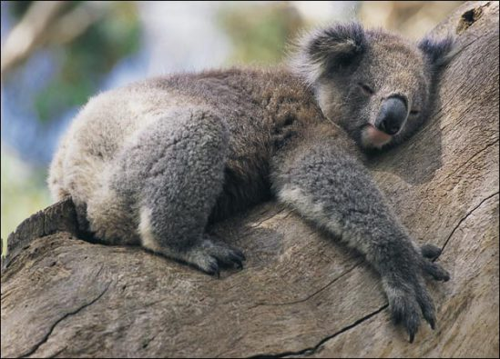 Koala bear, born to hug a tree!: image via google plus