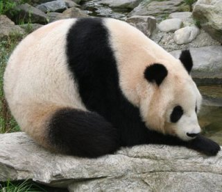Love me, love my poop! (Giant panda from Vienna Zoo)