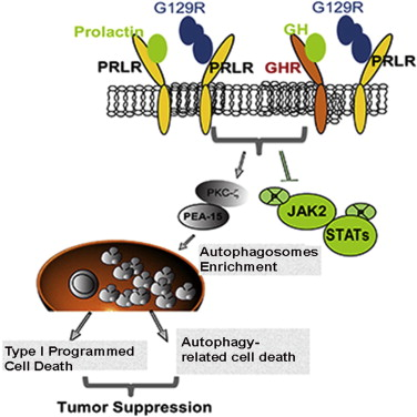 Graphic abstract of G129R interference: Credit: Yunfei Wen et al, Antagonism of Tumoral Prolactin Receptor Promotes Autophagy-Related Cell Death