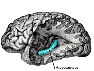 The Hippocampus: critical to forming new memories: image via Wikipedia.com