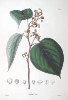 Hovenia dulcis may contain a possible treatment for alcoholism: image via wikipedia.com